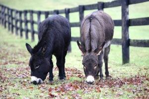 Reeses donkeys